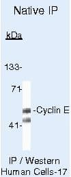 Cyclin E Antibody in Immunoprecipitation (IP)