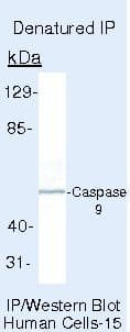 Caspase 9 Antibody in Immunoprecipitation (IP)