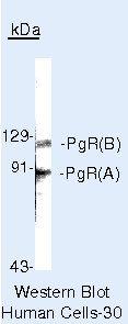 Progesterone Receptor Antibody in Western Blot (WB)
