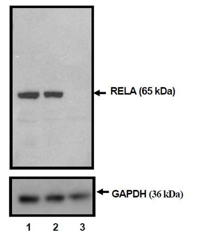 NFkB p65 Antibody in KnockDown