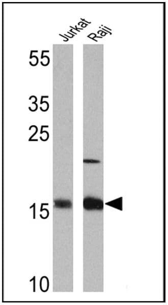 Survivin Antibody