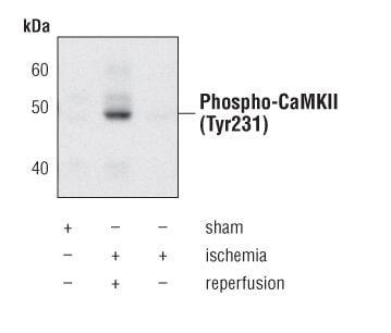 Phospho-CaMKII alpha/beta/delta (Tyr231) Antibody in Western Blot (WB)