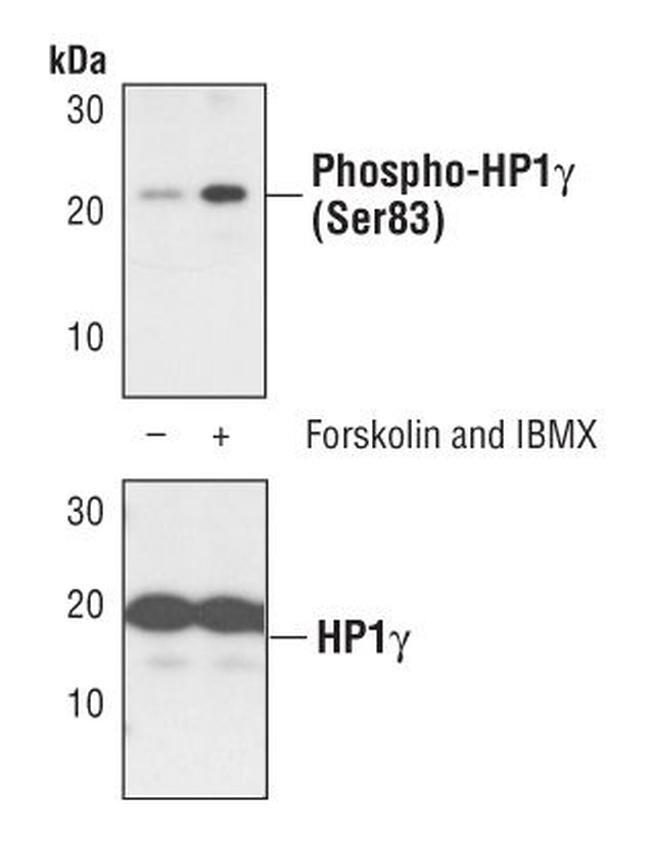 Phospho-HP1 gamma (Ser83) Antibody in Cell treatment