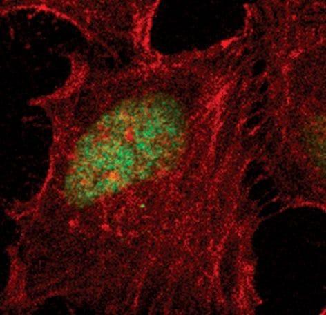 Phospho-HP1 gamma (Ser83) Antibody in Immunofluorescence (IF)