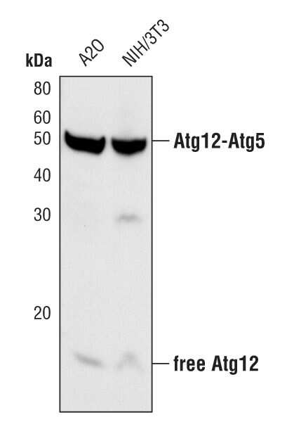 ATG12 Antibody in Western Blot (WB)
