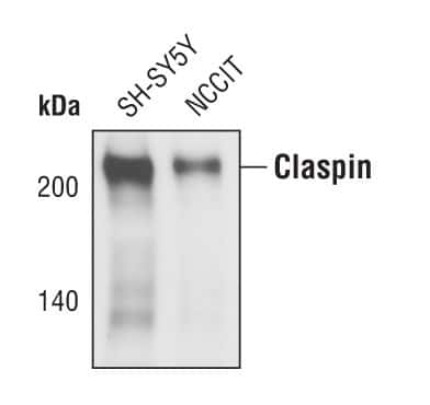 Claspin Antibody in Western Blot (WB)