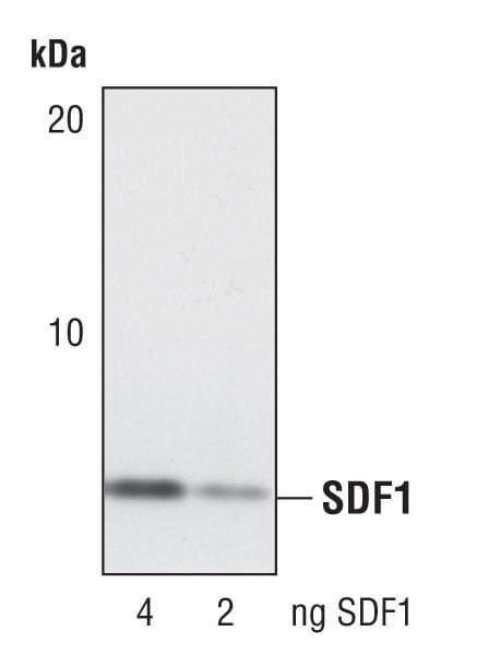 CXCL12 Antibody in Western Blot (WB)