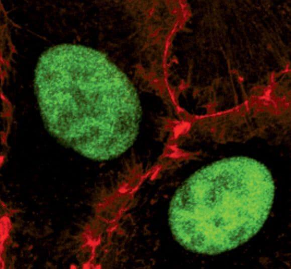 Phospho-SIRT1 (Ser47) Antibody in Immunofluorescence (IF)