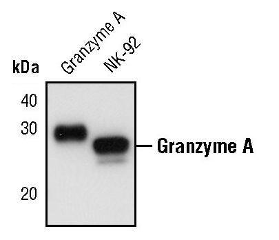 Granzyme A Antibody in Western Blot (WB)