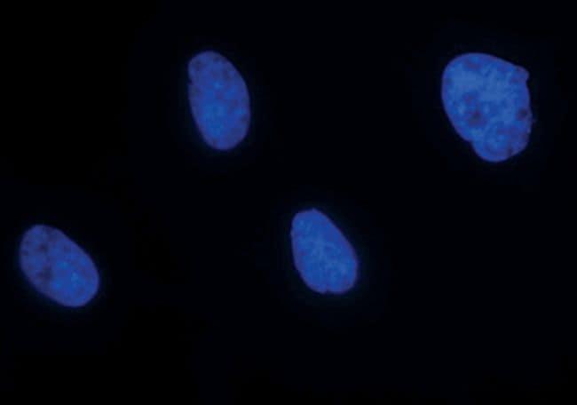 Ku80 Antibody in Immunofluorescence (IF)