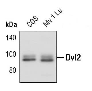 DVL2 Antibody in Western Blot (WB)