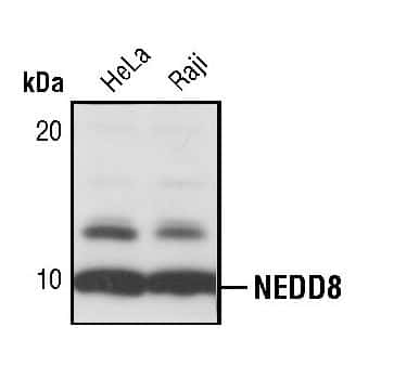 NEDD8 Antibody in Western Blot (WB)