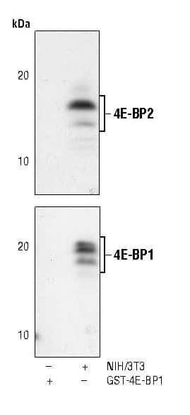 4E-BP2 Antibody in Western Blot (WB)