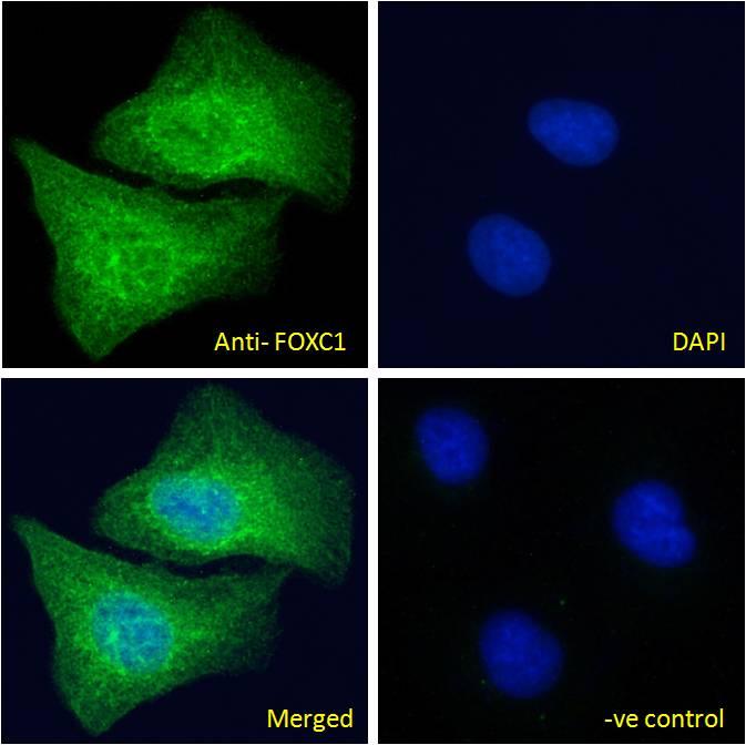 FOXC1 Antibody in Immunofluorescence (IF)