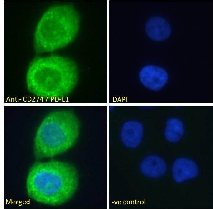 PD-L1 Antibody in Immunofluorescence (IF)