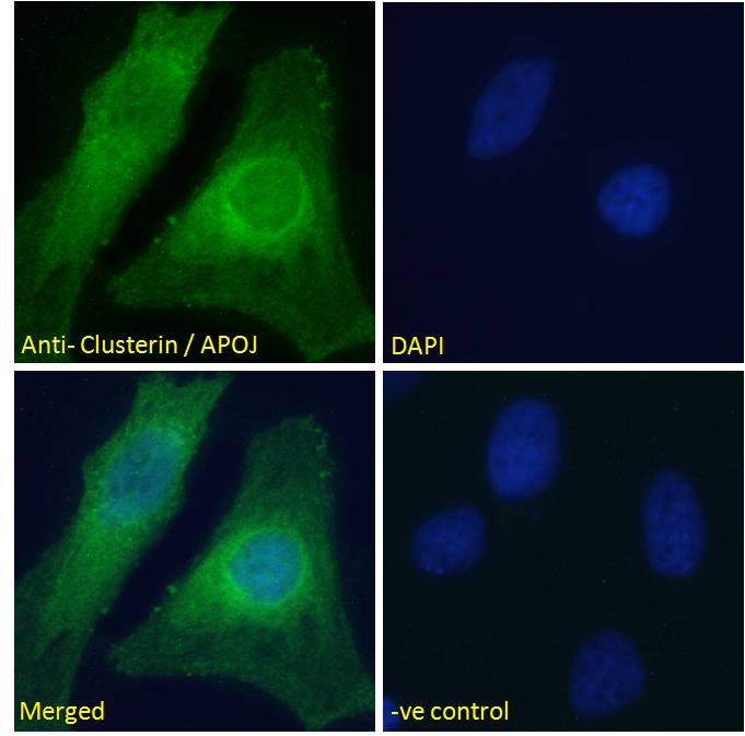 Apolipoprotein J Antibody in Immunocytochemistry (ICC/IF)