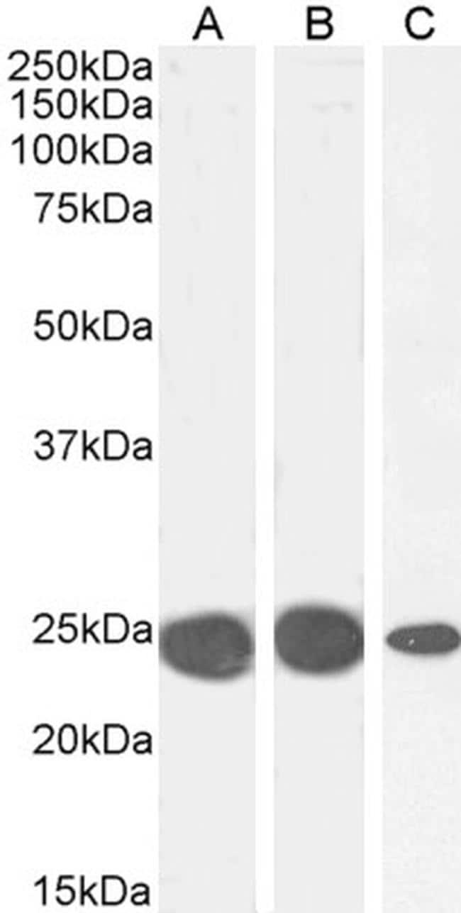 HP1 alpha Antibody in Western Blot (WB)