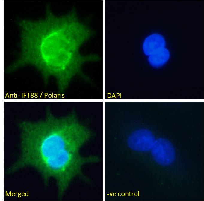 IFT88 Antibody in Immunofluorescence (IF)
