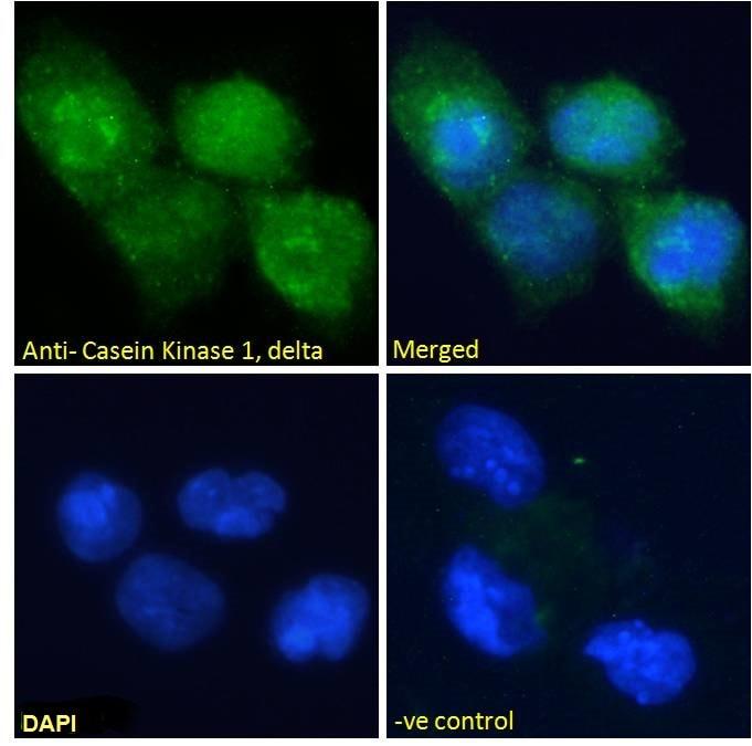 CK1 delta Antibody in Immunocytochemistry (ICC/IF)
