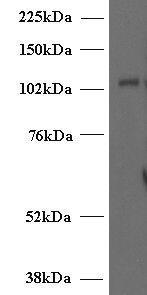Munc13-4 Antibody in Western Blot (WB)