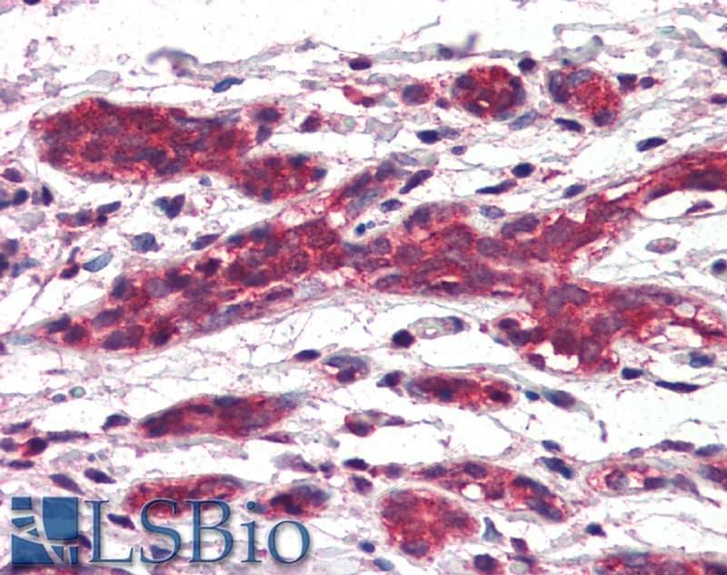 DAGLA Antibody in Immunohistochemistry (Paraffin) (IHC (P))