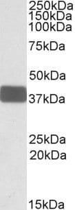 WNT9B Antibody in Western Blot (WB)