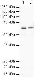 PTPRG Antibody in Western Blot (WB)