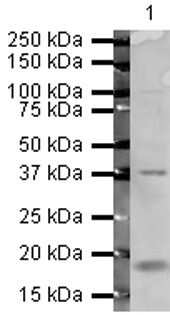 ATF4 Antibody in Western Blot (WB)
