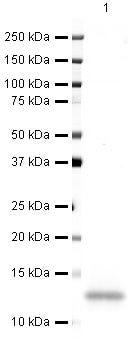 CXCL14 Antibody in Western Blot (WB)