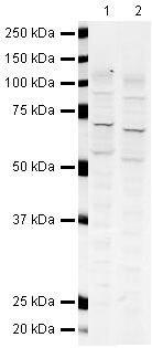 GLAST Antibody in Western Blot (WB)