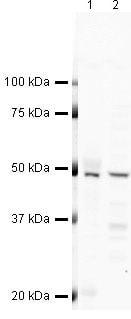 Flotillin 1 Antibody in Western Blot (WB)