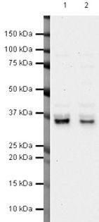 PIG3 Antibody in Western Blot (WB)
