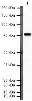 Complement C9 Antibody in Western Blot (WB)