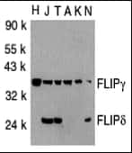 FLIP Antibody in Western Blot (WB)