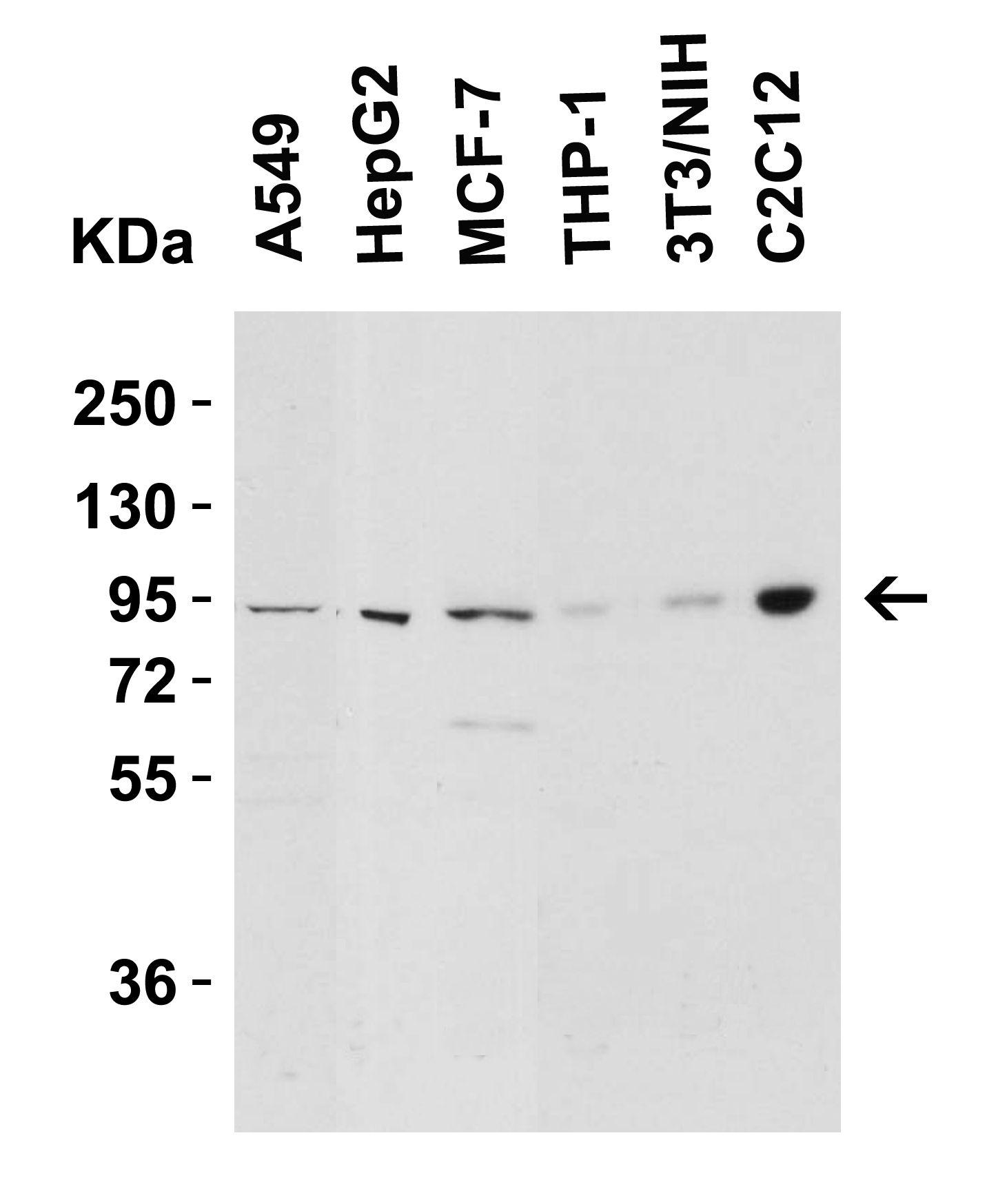 Nephrin Antibody in Western Blot (WB)