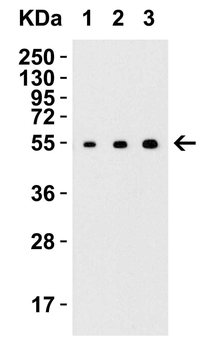 ARMET Antibody in Western Blot (WB)