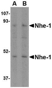 Nhe-1 Antibody in Western Blot (WB)