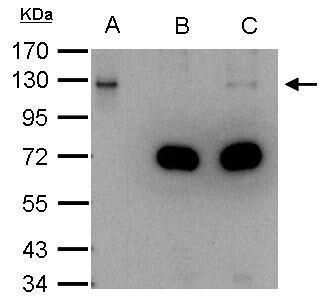 DDB1 Antibody in Immunoprecipitation (IP)