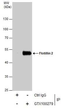 Flotillin 2 Antibody in Immunoprecipitation (IP)