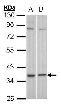 GPR77 Antibody in Western Blot (WB)