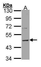HRH3 Antibody in Western Blot (WB)
