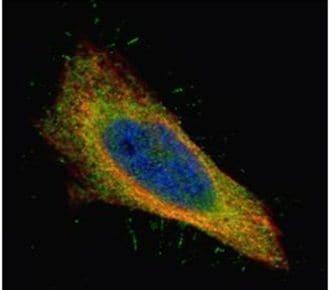 Filamin B Antibody in Immunofluorescence (IF)