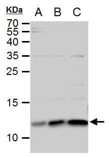 ERH Antibody in Western Blot (WB)