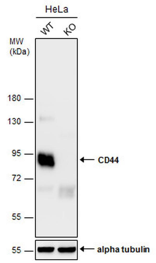 CD44 Antibody in Knockdown