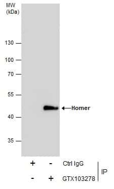 HOMER1 Antibody in Immunoprecipitation (IP)