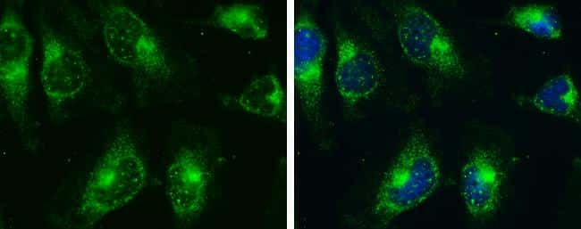 AMPK alpha-2 Antibody in Immunofluorescence (IF)