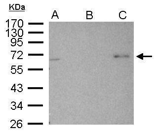 AMPK alpha-2 Antibody in Immunoprecipitation (IP)