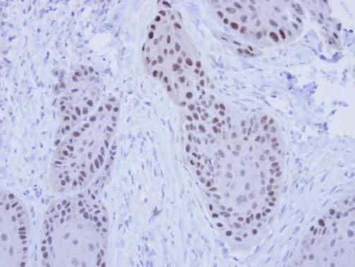 RFC4 Antibody in Immunohistochemistry (Paraffin) (IHC (P))