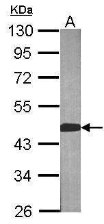 BCAT2 Antibody in Western Blot (WB)