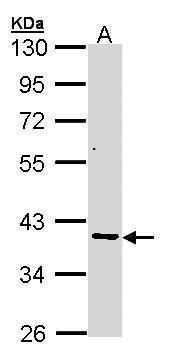 AKR7A2 Antibody in Western Blot (WB)